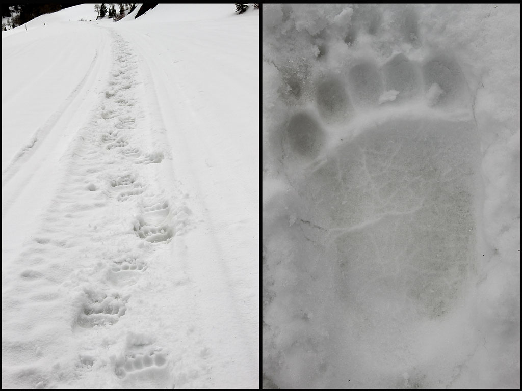 Fresh-Grizzly-Tracks.jpg