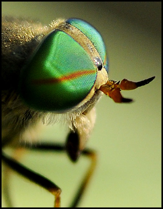 greenhead-fly-2-28556[1].jpg