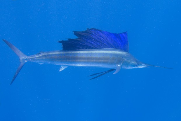 SAILFISH2-620x413.jpg